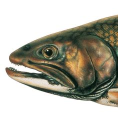 Brook Trout. Illustrated and © by Joseph R. Tomelleri.
