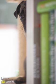 """""""Stiller Beobachter""""  Hund, Mops, dog, pug www.foto-emotionen-pl.de"""