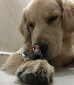 Golden Retriever Bom dia!! Good Morning!! #Bob #Marley #AumigosDoBobEMarley #goldenretriever #goldenretrieverbrasil #goldenretrieverworld #puppy #puppiesofinstagram #goldensofinstagram #dogsofinstagram #petstagram #instapet #instapetbrasil #instaBobEMarley #mandarim #zebrafinch #birds by bob_marley_goldenretriever