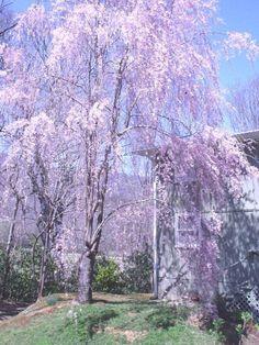 Photos of weeping cherry in full bloom in spring. Weeping Trees, Weeping Cherry Tree, Cosmos, Landscape Design, Garden Design, Japanese Magnolia, Tree Care, Garden Landscaping, Landscaping Ideas