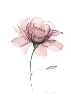 Transparent Dusty Rose on Behance Xray Flower, Flower Art, Lotus Flower, Flower Prints, Flower Background Wallpaper, Flower Backgrounds, Watercolor Flowers, Watercolor Paintings, Watercolor Rose Tattoos