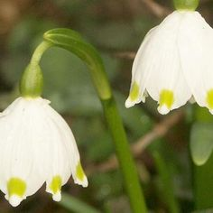 The spring snowflake was described as Leucojum vernum by the renowned Swedish botanist Carl Linnaeus in From Ginny T; put in 3 beds Garden Bulbs, Planting Bulbs, Seed Storage, Bulbous Plants, Plant Fungus, In Natura, Seed Bank, Woodland Garden, Hedges