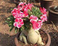Cultivar-Rosas-do-Deserto