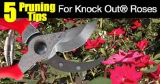 Knockout Rose care is so easy it saved the popularity of roses. The Knockout Rose is the most popular type of rose in the USA today. [LEARN MORE AND WHY] Knockout Roses Care, Pruning Knockout Roses, Double Knockout Roses, Pruning Roses, Wooden Roses, Rose Care, Garden Drawing, Rose Bush