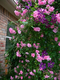 'Climbing Pinkie' Rose (climbing polyantha), suitable to the southeast, Georgia, Zone 7B. Blooms April-November, very fragrant, few thorns. Remove older canes to maintain optimum growth habit and flower production. (Shown here, combined with Clematis vine.)