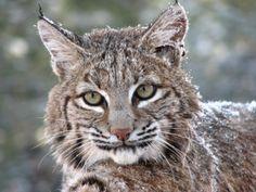 American Lynx Cat   Bobcat