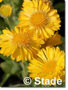 Staudenfoto zu Gaillardia x grandiflora 'Mesa Yellow' (Garten-Kokardenblume) Shops, Plants, Yellow, Lawn And Garden, Tents, Retail, Plant, Retail Stores, Planets