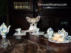 meet+tiny+timbits!+a+tiny+2+lb+chihuahua+from+british+columbia,+canada!
