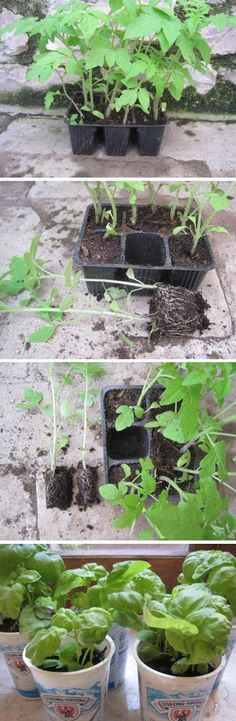 Planting seedlings in a pot