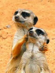 "meerkats. ""no, up there"""