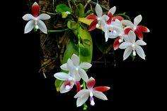 cultivando Orquídeas e idéias: PHALAENOPSIS- A beleza do oriente ganhou o mundo!