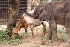 Mopane and Lammie, a match made in heaven.   Read all about Mopane's story here: http://hesc.co.za/2018/01/update-on-hesc-baby-elephant-mopane/ #Elephant #Conservation #HESC #BeKindToElephants