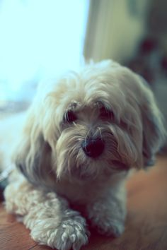 Havanese are so sweet!
