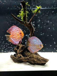 How to care for discus