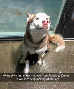 The traits we love about the Bold Siberian Husky Funny Animal Pictures, Cute Funny Animals, Cute Baby Animals, Funny Dogs, Animals And Pets, Cute Pictures, Cute Puppies, Cute Dogs, Corgi Puppies