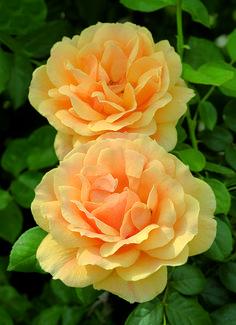 Easy Going Floribunda Rose