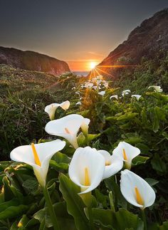 Calla Lilies at Goud Creek in Notleys Landing, CA Calla Lillies, Calla Lily, Zantedeschia Aethiopica, Big Sur California, Best Places To Camp, Growing Flowers, Best Location, Camping Hacks, The Great Outdoors