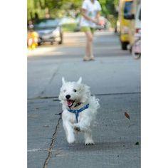 Run Shiro... Run...!! #pets #pet #animal #dog #dogs #westielove #westielover #westie #westies #westitude #westhighlandterrier #westieofinstagram #instagrampetphotos #puppygram #puppiesofinstagram #dogsofinstagram #westiedogs #doglovers #cutedogs #westiegram #westieoftheday #ilovemydog #ilovemydogs #terrier #cute #love #happy #run #like4like by shirowestie http://bit.ly/teacupdogshq