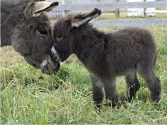 baby donkeys ! AHH i will have one of these cute litte asses one day! haha