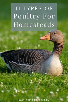 """Keeping more than one type of poultry can be a huge benefit to a farm or homestead. Check out these different poultry options that many homesteaders love! Keep in mind that just as there's no """"perfect chicken breed"""" for everyone – not all of these will perfectly complement every farm. But depending on your homestead location, needs, and goals, it might be worth considering adding one of these """"chicken alternative"""" types of poultry to your homestead. Raising Quail, Raising Ducks, Raising Chickens, Backyard Ducks, Chickens Backyard, What To Feed Ducks, Keeping Ducks, Types Of Poultry, Livestock Farming"""