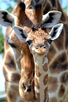 This is a mother and a baby giraffe! <3