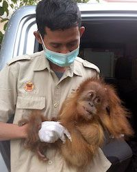 You can click for free at GreaterGood.com and help give full vet care to eight endangered Sumatran orangutans!