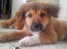 Luffy the Border Collie Mix -- Puppy Breed: Border Collie / Golden Retriever