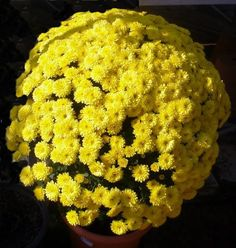 Crisantemo Chrysanthemum, Cactus Y Suculentas, Cauliflower, Chicken, Vegetables, Food, Gardens, Chrysanthemums, Flowers