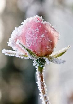 frosted pink rose