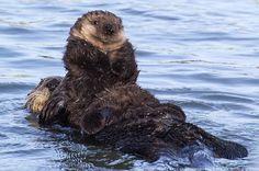 Sea otter mom and pup, Victoria