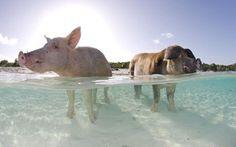 Cochon Sauvage aux Bahamas