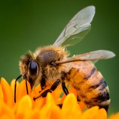 Honeybee - Bees of all types are great for your garden. Bumblebees tend to be the largest types of bees, with honeybees significantly smaller. Bees are necessary for pollination and their ongoing losses from pesticide use are staggering.  Without them, humans will not thrive for long.