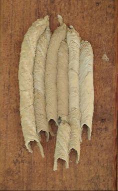 Mud Wasp Nest