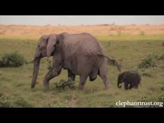Elephant Baby-Mother love will make U cry - YouTube Elephant Gif, Cute Baby Elephant, Elephant Walk, Little Elephant, African Elephant, Herd Of Elephants, Save The Elephants, Animals And Pets, Baby Animals