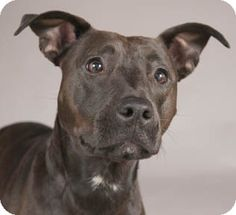 Chicago, IL - American Pit Bull Terrier Mix. Meet Maddie a Dog for Adoption.
