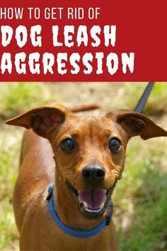 Aggressive dog training tips to help calm dog leash aggression. Dog Training Techniques, Dog Training Tips, Training Schedule, Training Classes, Training Videos, Yorkie, Leash Aggression, Dog Accesories, Easiest Dogs To Train