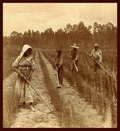 Gullah/Geechees tending a rice field.