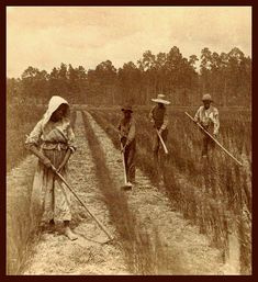 SLAVES, EX-SLAVES, and CHILDREN OF SLAVES IN THE AMERICAN SOUTH, 1860 -1900 (13)    Working the Rice Fields of Georgia.