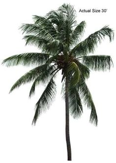 Malayan Coconut Palm Tree - Welcome to your local online nursery, offering cheap and affordable wholesale discounted plants and palm trees, packaged and shipped around the world! RPT can help achieve your vacation resort in the comfort of your home with a great staff, full of ideas and landscape architects ready to design on any budget. Contact us at www.RealPalmTrees.com #CoconutPalms #BuyPalms #PalmTreesMiami #BuyPalmTrees #BuyDatePalms #MiamiPalmTrees #PalmTreeStore