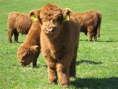 scottish highland cattle calf...Fuzzy babies