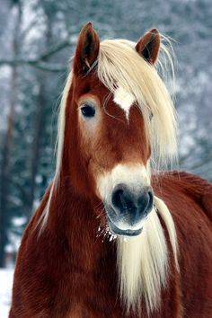 Haflinger IV - Seite 134 - ( Horse`s )Winter Wondeland - Pferde Nature Animals, Animals And Pets, Baby Animals, Cute Animals, Most Beautiful Horses, All The Pretty Horses, Cute Horses, Horse Love, Horse Photos