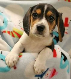 Pictures of Reeger a Beagle for adoption in Heath, OH who needs a loving home.