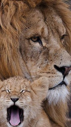 lion_cub_cry_mane_caring_family_44851_640x1136 | Flickr - Photo Sharing!