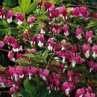 Deer Resistant Flower gardens for everyone plant flowers perennials bulbs tubers roots rhizomes corms  Bleeding Heart