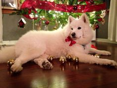 Simba the Samoyed is ready for Christmas