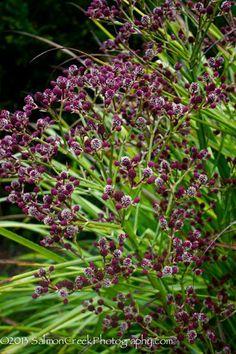 Eryngium pandanifolium — at Digging Dog Nursery