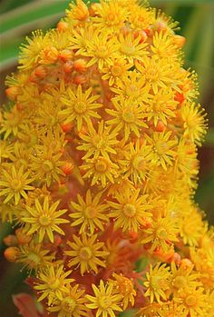 Aeonium 'Rubrolineata'