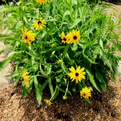 We have these rudbeckia on special right now. They are in a one gallon and are huge for only $3.88 each.