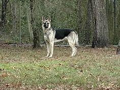 German Shepherd Dog dog for Adoption in Lithia, FL. ADN-754605 on PuppyFinder.com Gender: Male. Age: Young