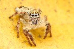 Jumping Spider by Anne Hannah (Lwin) on 500px